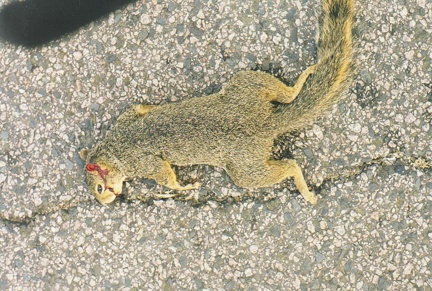 Dallas-a trip to New Mexico mountains  - flattened squirrel to the north of SMU