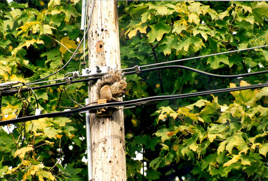 A squirrel on an electric pole at Garden St.. West Lafayette, Indiana