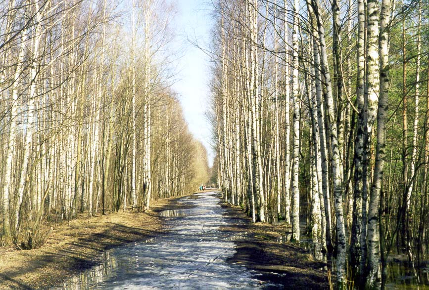 A birch alley in Sosnovka Park. St.Petersburg, Russia