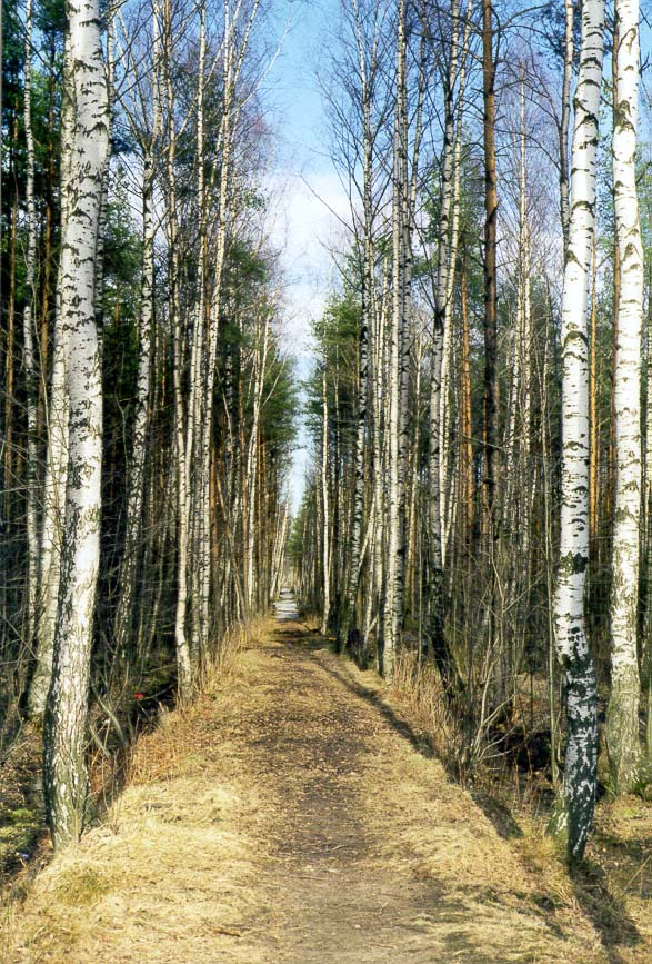 A narrow birch alley in Sosnovka Park. St.Petersburg, Russia