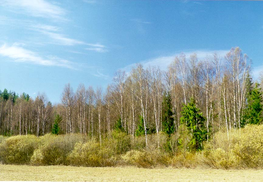 A meadow bordered by willow in a forest west of...miles north of St.Petersburg, Russia