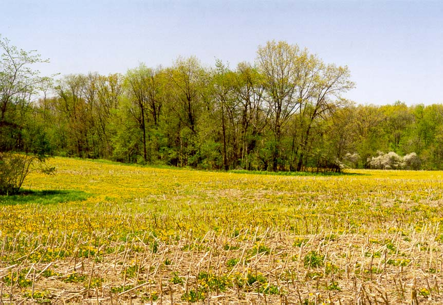 Yellow flowers on a corn field near State Rd. 350...west from West Lafayette. Indiana