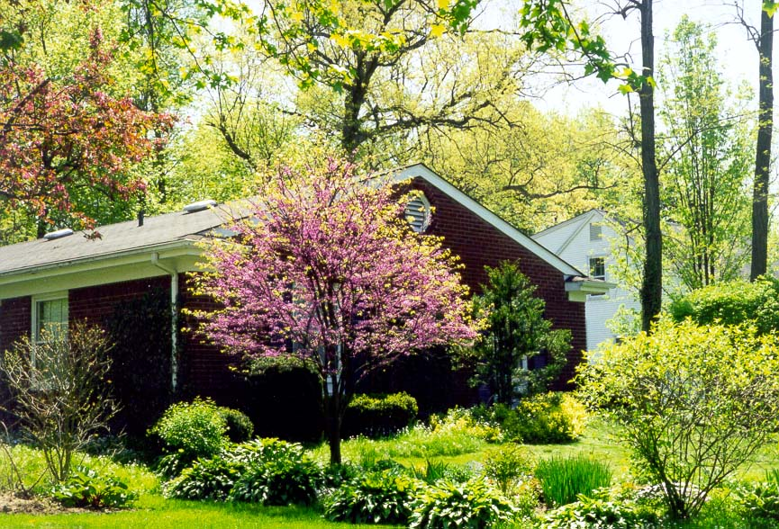 Redbud tree at Sheridan Road. West Lafayette, Indiana