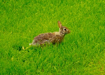 A rabbit in a backyard of the house. West Lafayette, Indiana