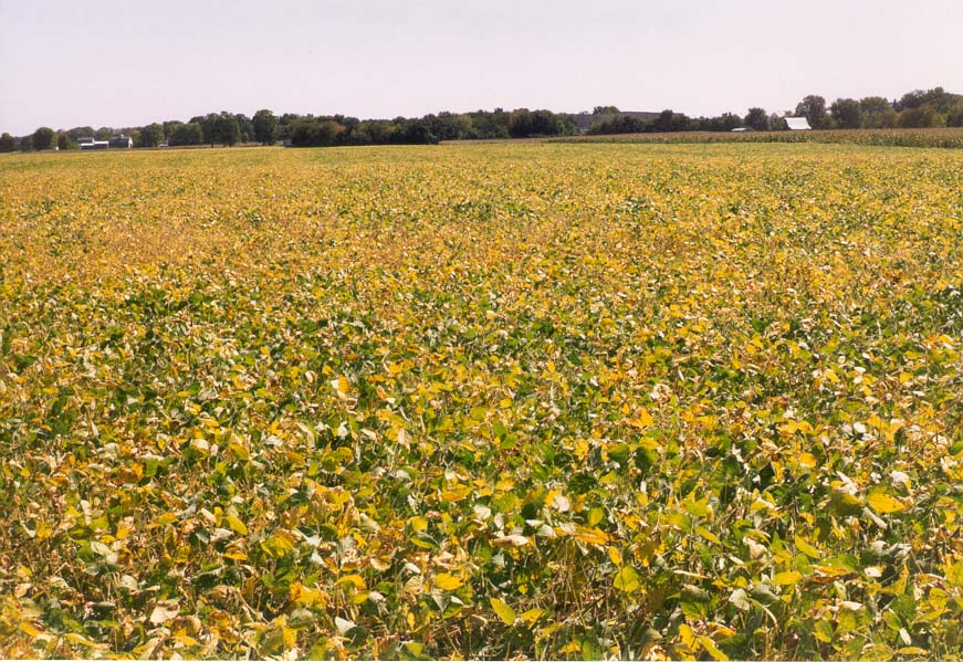 A soybean field north from Lafayette, Indiana