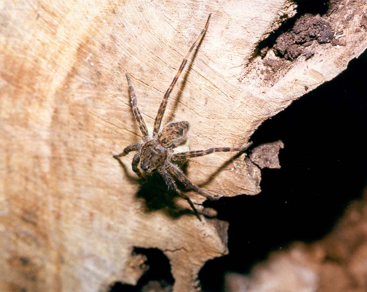 A spider holding a white ball on a hollow log at...Ground, north from Lafayette. Indiana