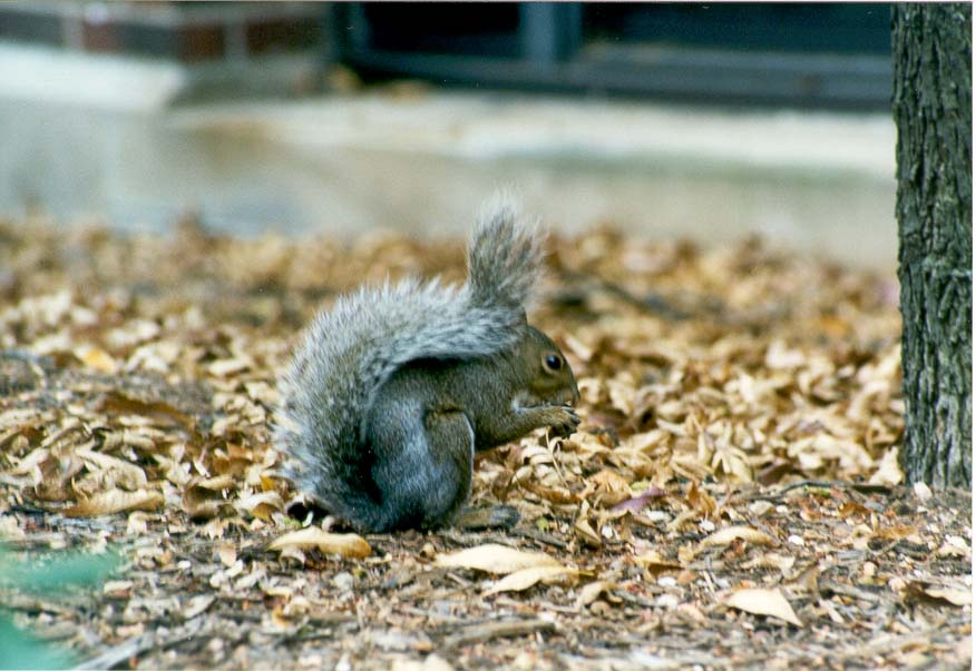 A grey squirrel gnawing a nut on its home range...University, West Lafayette, Indiana