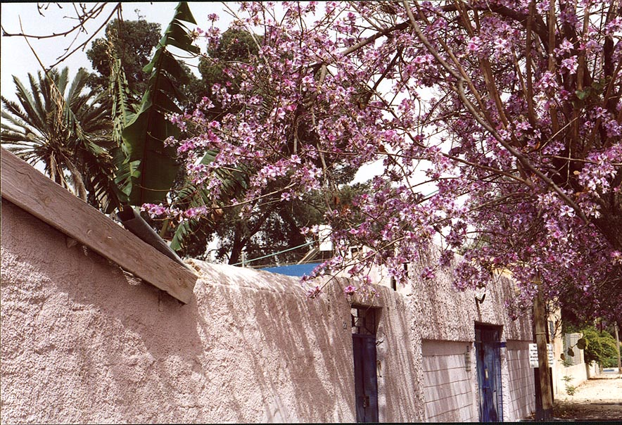 Old City, with a tree in bloom. Beer-Sheva, the Middle East
