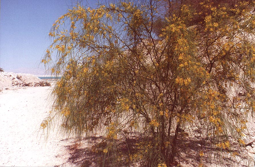 Blooming paloverde (Ratama, Horsebean) tree at...Creek, near Dead Sea. The Middle East