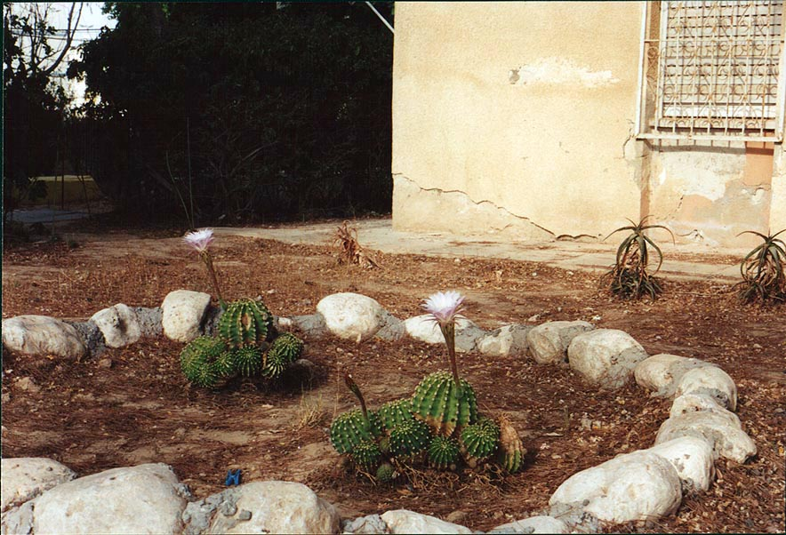 Blooming cacti on a flowerbed in front of the...Blvd.. Beer-Sheva, the Middle East
