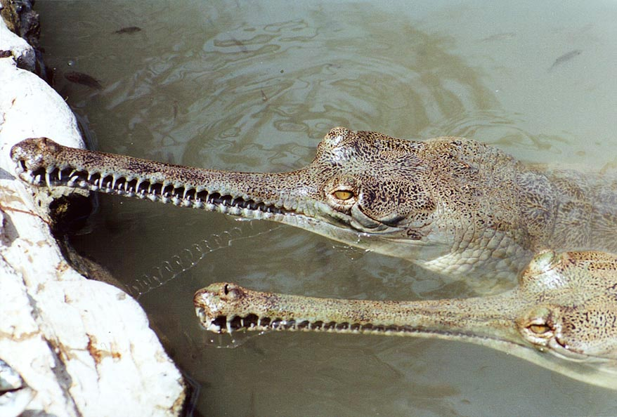 Feeding crocodiles in Hamat Gader. The Middle East