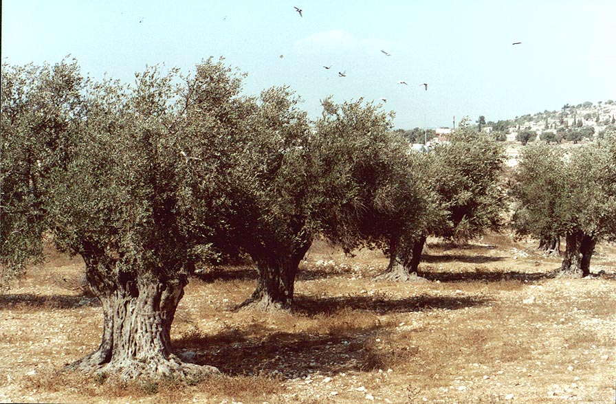 Olive trees south from Ramat Rachel. Jerusalem, the Middle East
