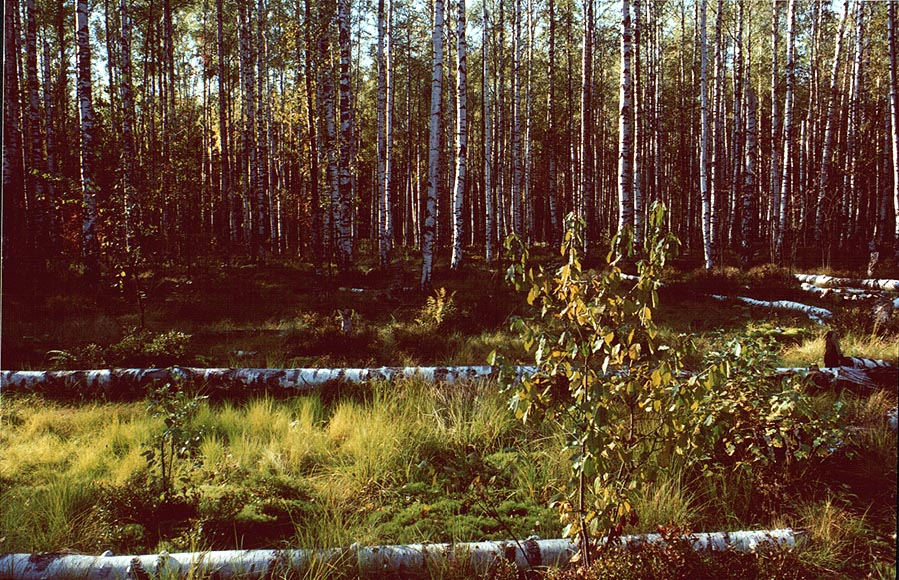 Birches and logs in Sosnovka Park. Sankt Petersburg, Russia