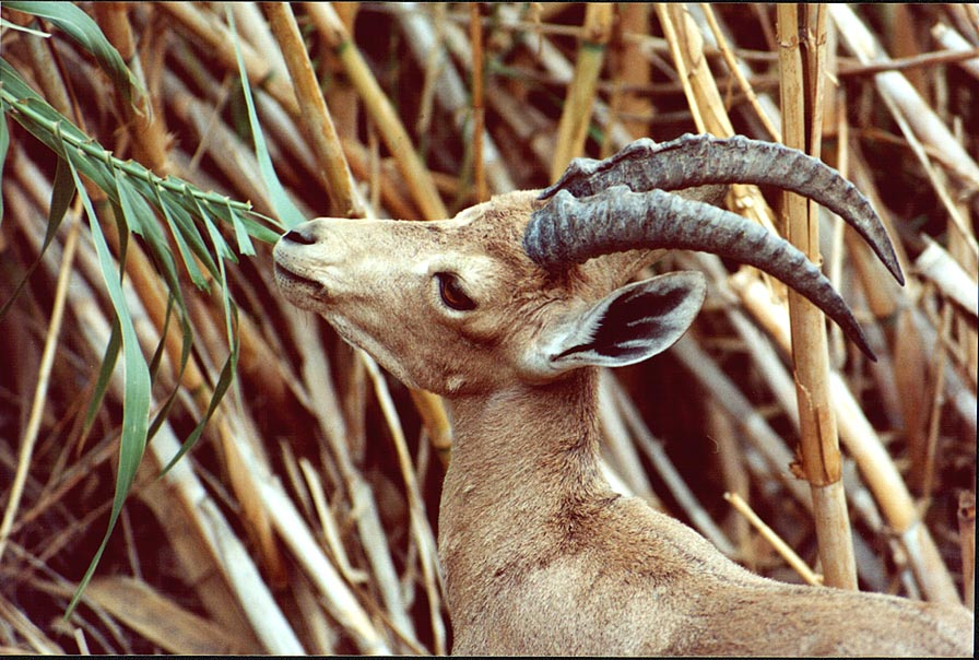An ibex cropping reeds on a trail near Nahal David. Ein Gedi, the Middle East