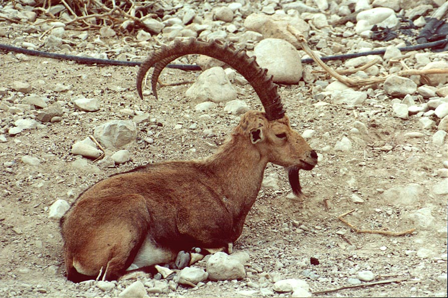 Resting ibex near the entrance to Nahal David. Ein Gedi, the Middle East