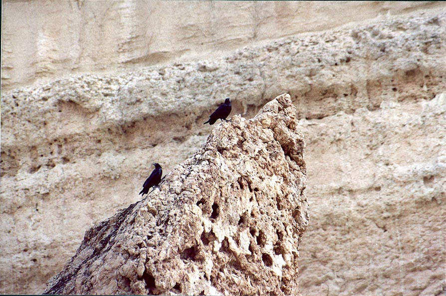 Crows on a limestone in Nahal Tseelim Canyon, 2 miles north from Masada. The Middle East
