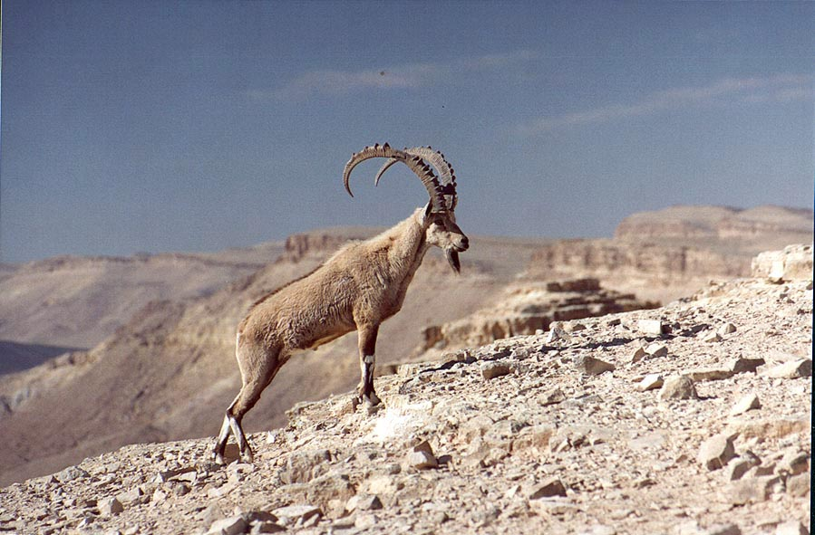 Stretching ibex disturbed at 9:30 a.m. on a rim...city. Mitzpe Ramon, the Middle East
