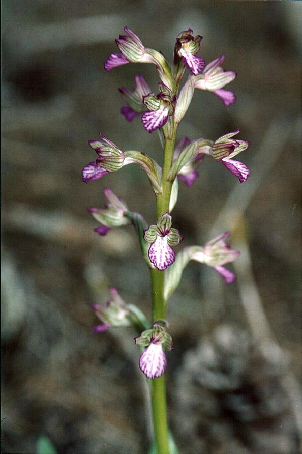 An orchid flower in a pine forest in Lahav, 10...north from Beer-Sheva. The Middle East