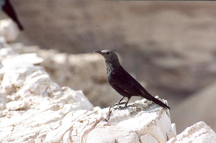 Common black birds Tristram's grackles on a rim of Bokek creek canyon. The Middle East