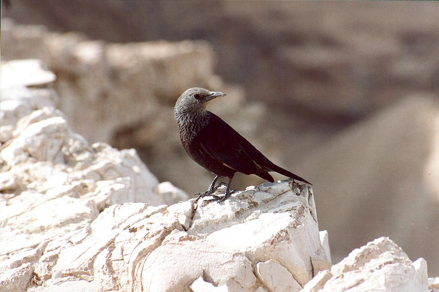 A common black bird Tristram's grackle sitting on...of Bokek creek canyon. The Middle East