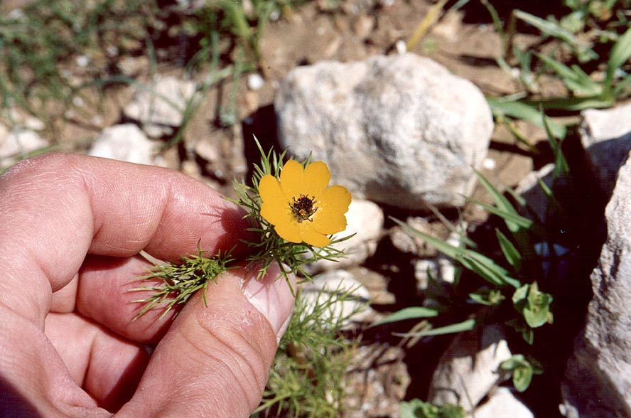 A small yellow anemone in Negev Desert in northern Beer-Sheva. The Middle East
