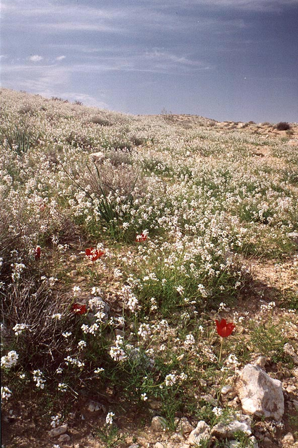 Spring flowers on a trail starting from a damn of...reservoir. Yeroham, the Middle East