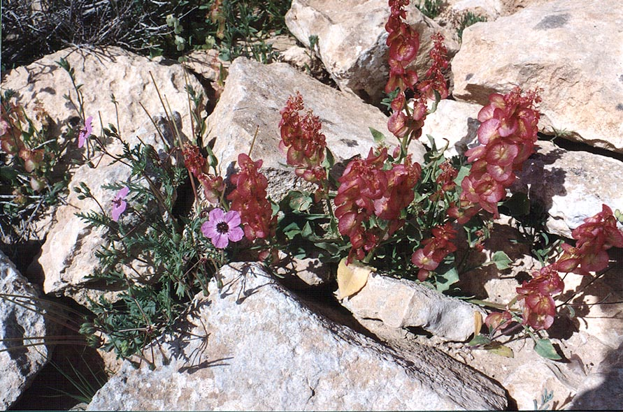 Spring plant in Negev Desert, on a mountain ridge...Yeroham reservoir. The Middle East