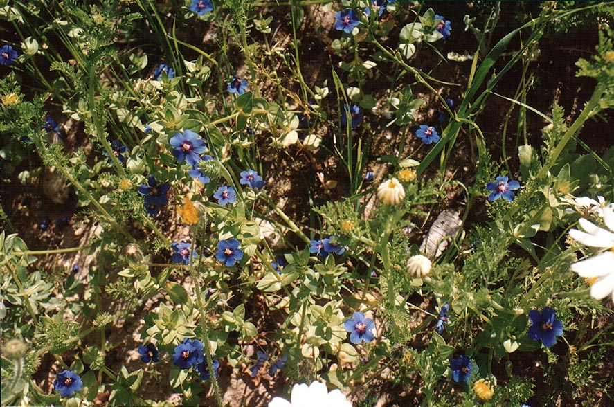 Blue pimpernel flowers in a riverbed of a...Yeroham reservoir. The Middle East