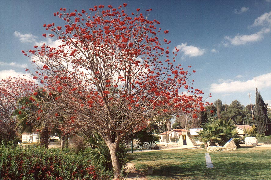 Coral tree in Gan Remez garden. Beer-Sheva, the Middle East