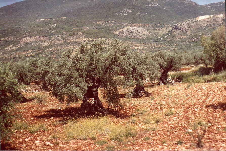 Old olive trees near Rama in Galilee, view from Rd. 85. The Middle East