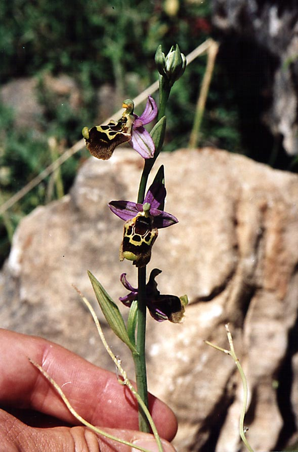 An orchid flower on a trail along Nahal Sekhvee River near Safed. The Middle East
