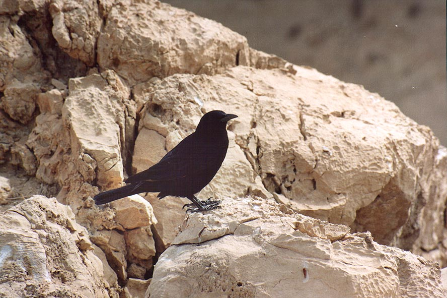 A common bird Tristram's grackle on the rim of a...near the Dead Sea. The Middle East