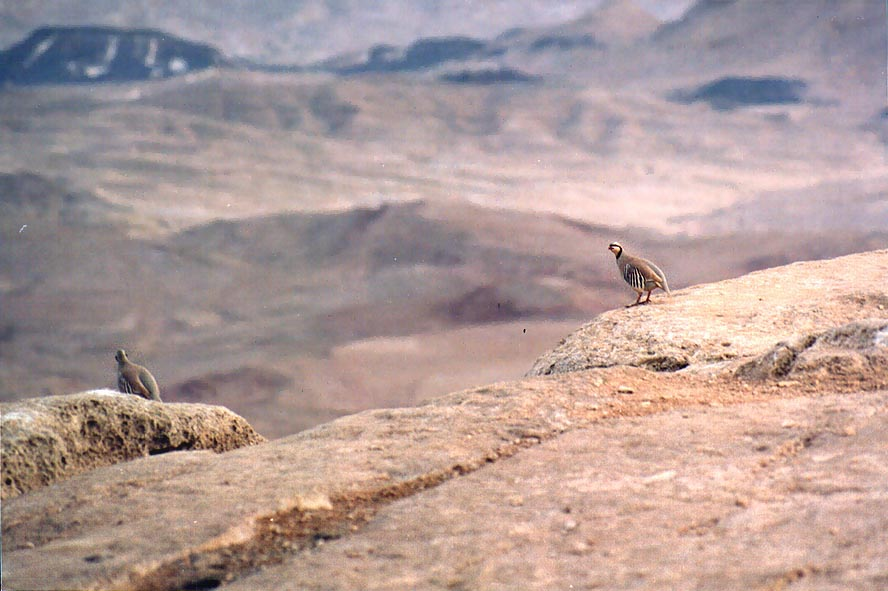 Chukar partridge on the rim of Ramon Crater, in Mitzpe Ramon. The Middle East