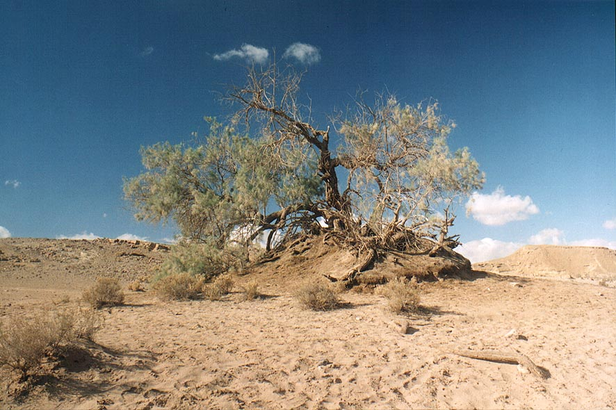 Ramon Crater east from Mitzpe Ramon, a tree near...along Nekarot Creek. The Middle East