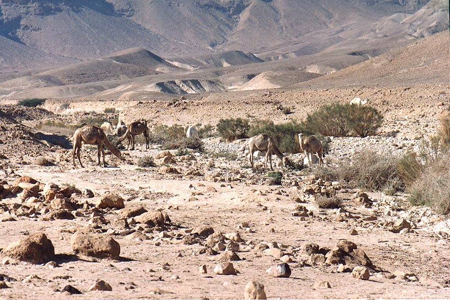 Camels in Judean Desert 1.5 miles south from Masada. The Middle East