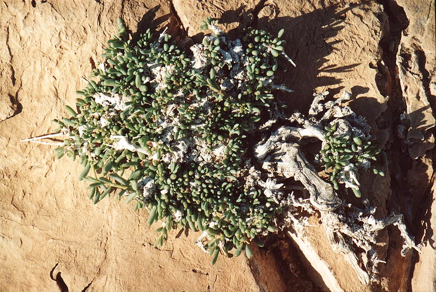 A desert plant on limestone of northern Mount Eliazar, south from Masada. The Middle East