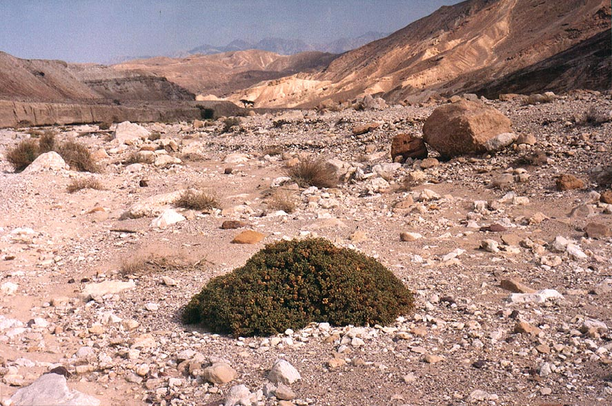 A pillow shaped plant in Nahal Raham wadi, 8 miles north from Eilat. The Middle East
