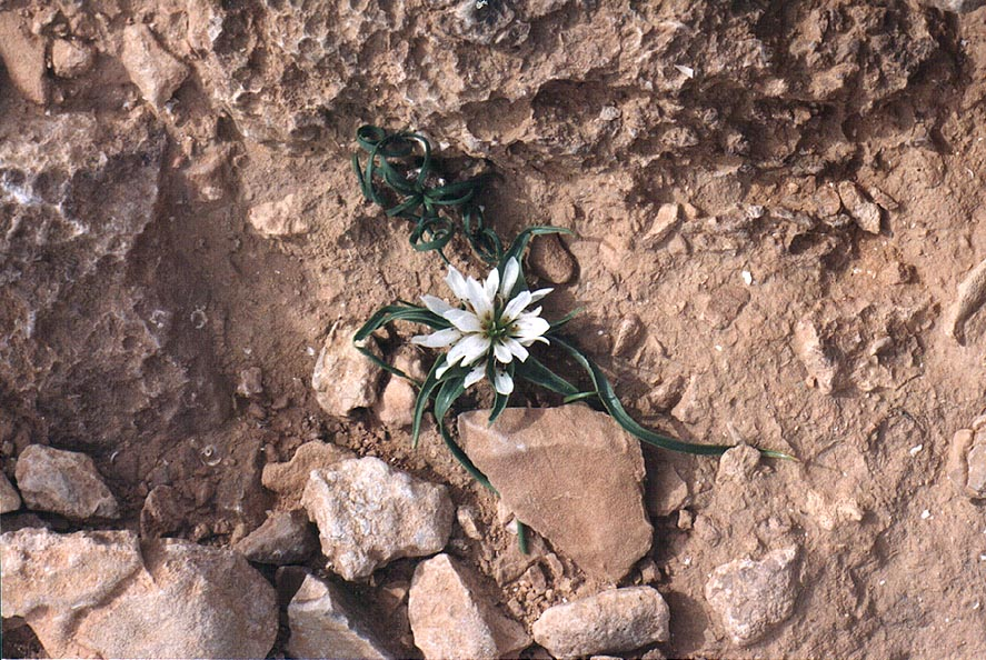 A small spring flower on a limestone plateau in...from Nahal Mishmar. The Middle East
