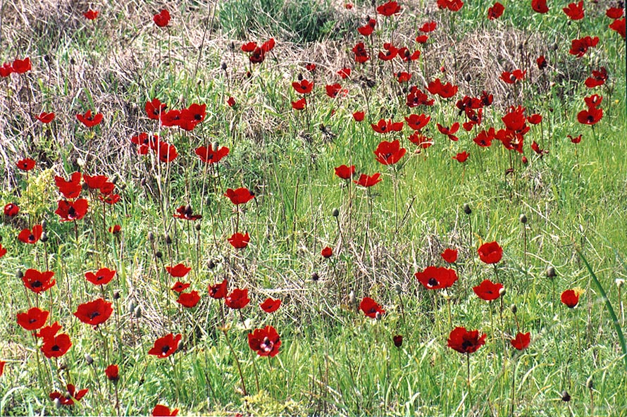 Red anemones in Park Eshkol, 7 miles west from Ofakim. The Middle East