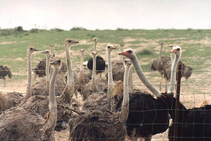 Ostrich farm west from Beeri Reserve, 3 miles north from Gaza city. The Middle East