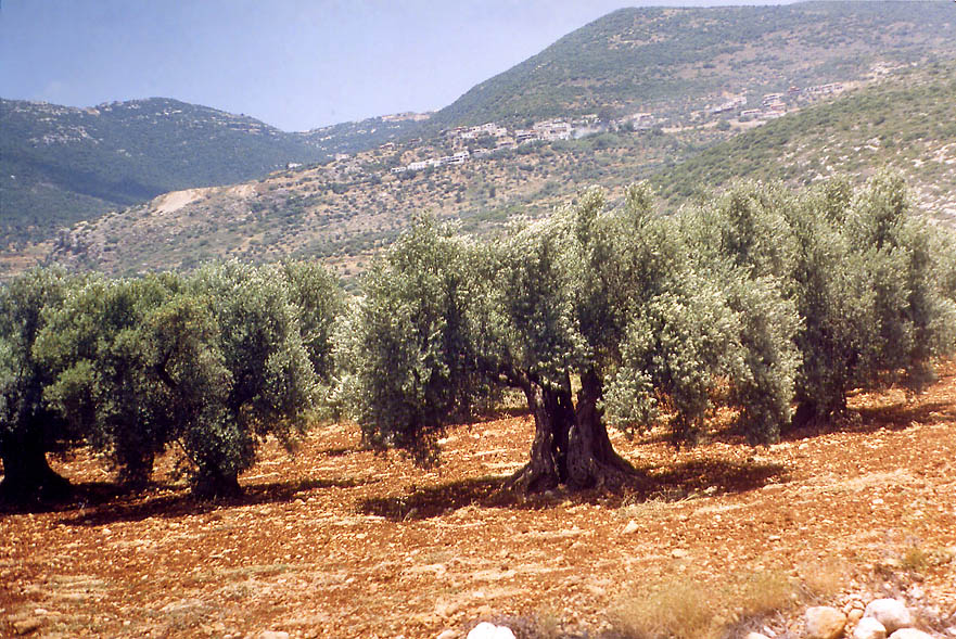 Olives of Galilee, view from a bus. Area of Carmiel, the Middle East