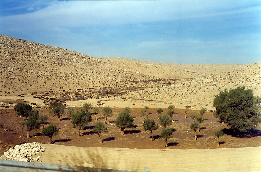Drying olive trees in Negev Desert from Eilat Rd. south from Beer-Sheva. The Middle East