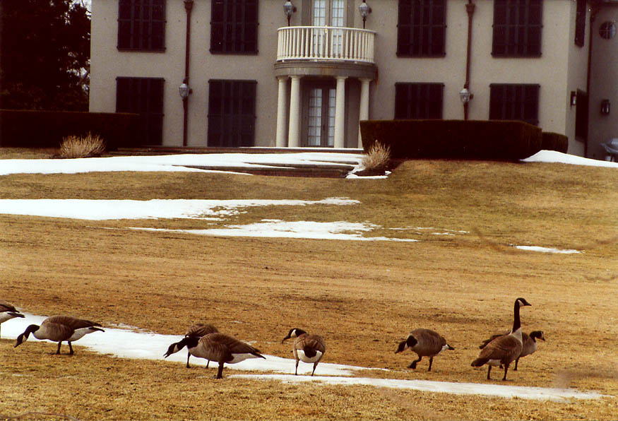 Canada geese on a lawn of Hopedene Mansion from Cliff Walk in Newport. Rhode Island