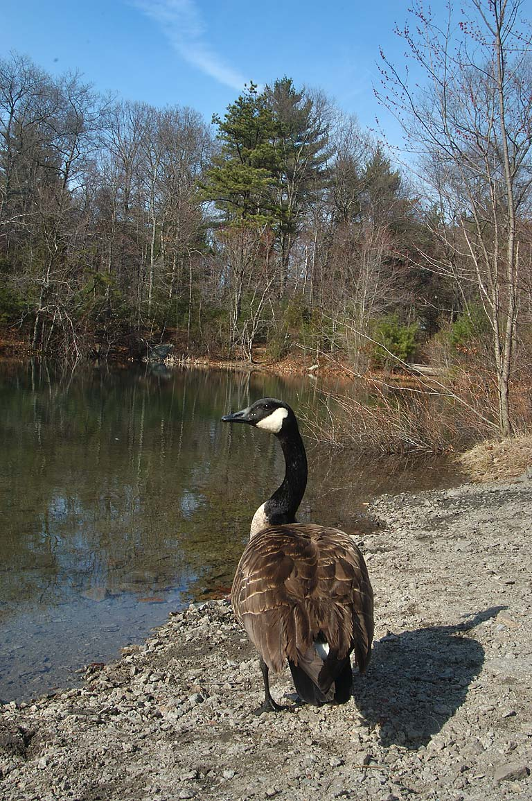 A Canada goose and a pond opposite to the Ledge...Fall River State Forest. Massachusetts