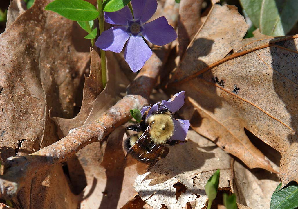A bumble-bee on a flower of periwinkle (vinca...Park. East Taunton, Massachusetts