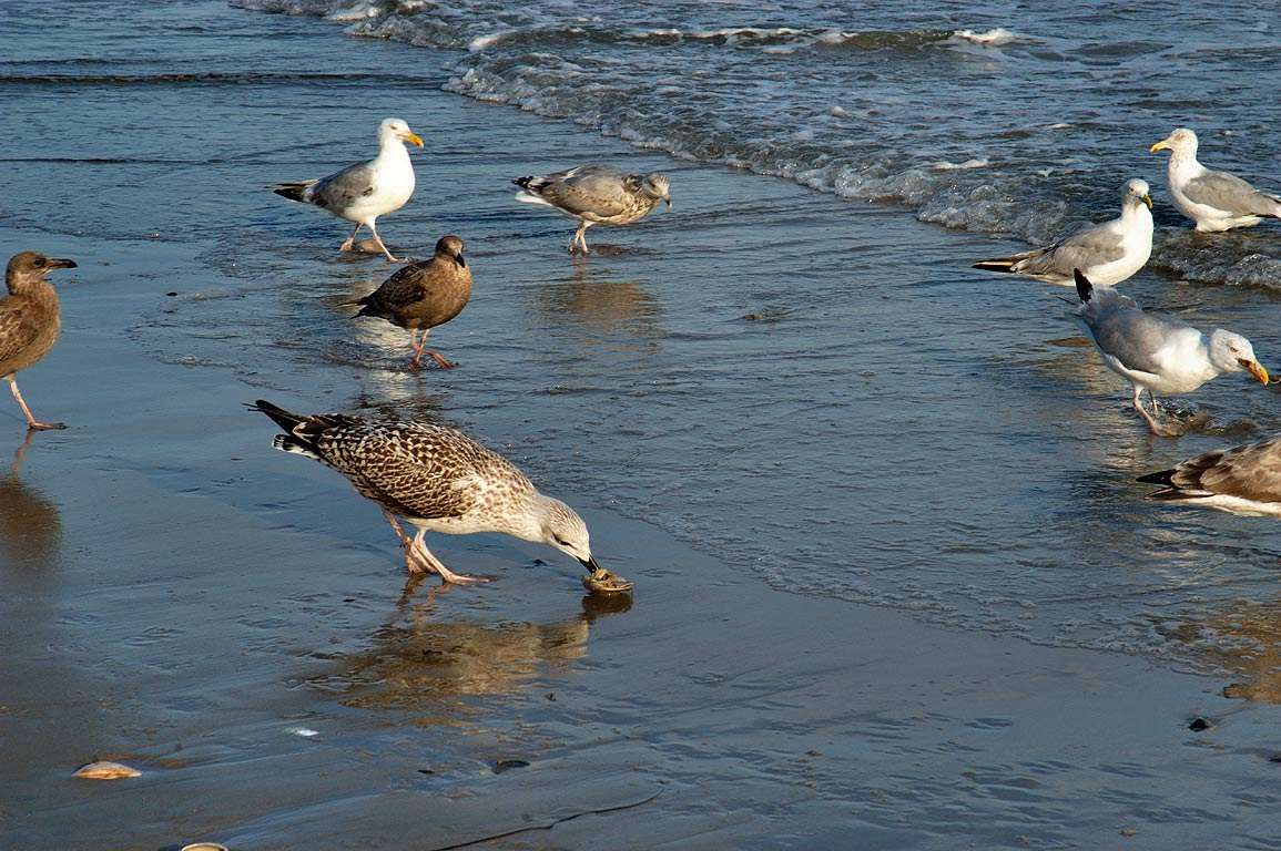 Gulls eating quahogs at South Shore Beach in Little Compton. Rhode Island