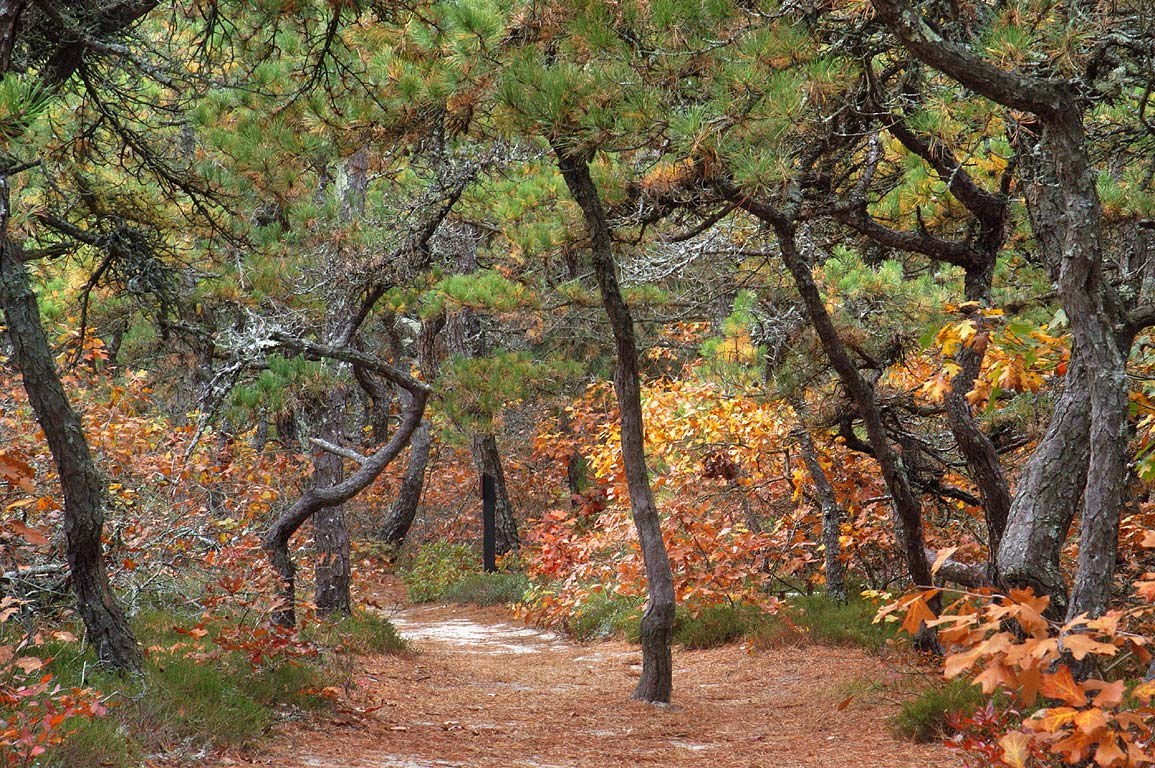 Atlantic White Cedar Trail through pitch pine and...oak forest in Cape Cod. Massachusetts