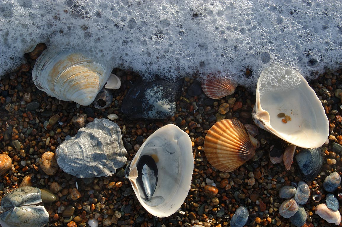 Shells on a beach of Atlantic Ocean. Acoaxet, Massachusetts