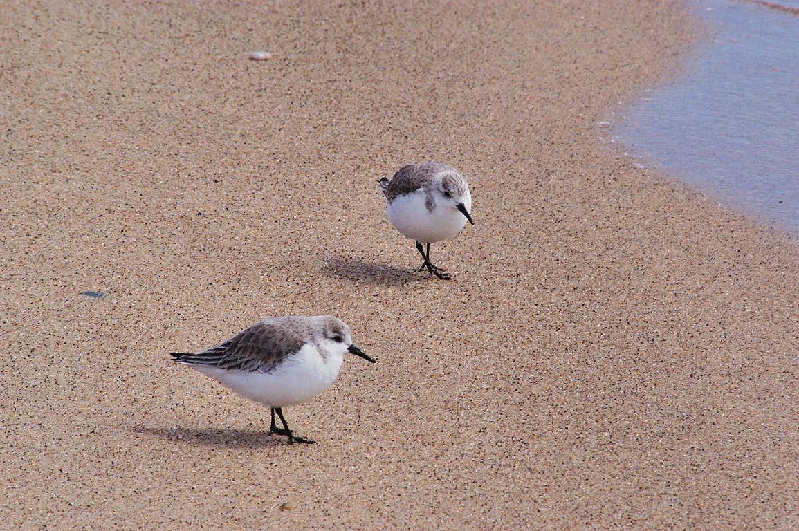 Sanderling birds on Long Point Beach. Provincetown, Massachusetts