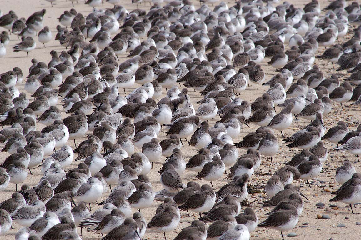 A flock of sleeping sanderling birds on Long Point Beach. Provincetown, Massachusetts